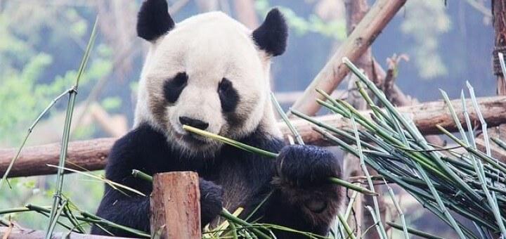 Panda Aufzuchtsstation Chengdu