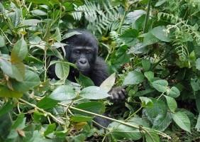 Uganda Berggorillas