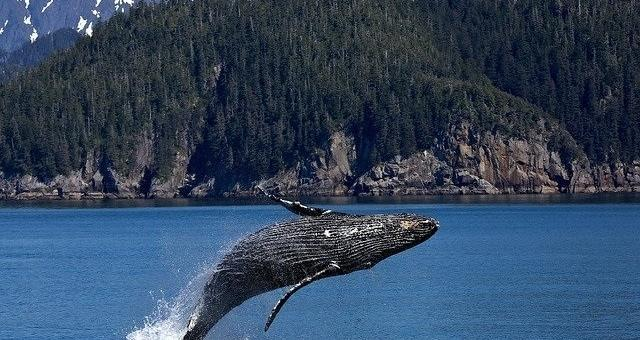 Alaska Kreuzfahrten - Buckelwal Sichtung